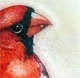 Profile picture of Cardinal